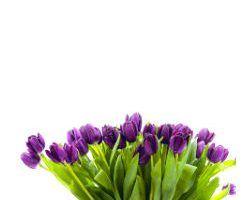 tulipan morado