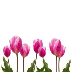 tulipan rosa