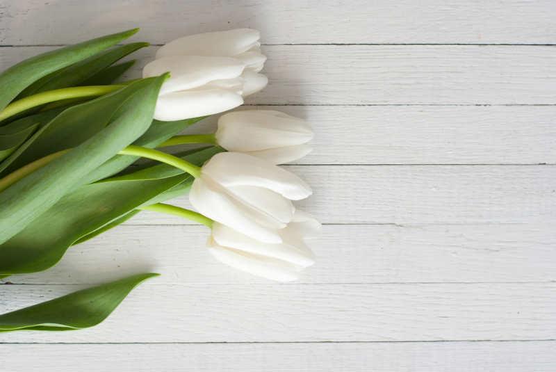 tulipanes blancos fotos