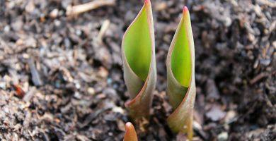 plantar tulipanes