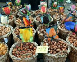 bulbos de tulipán